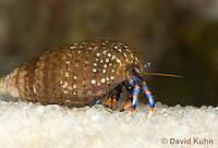 1205-0908  Aquatic, Underwater Hermit Crab, Dwarf Blue Leg Hermit Crab, Clibanarius tricolor  © David Kuhn/Dwight Kuhn Photography