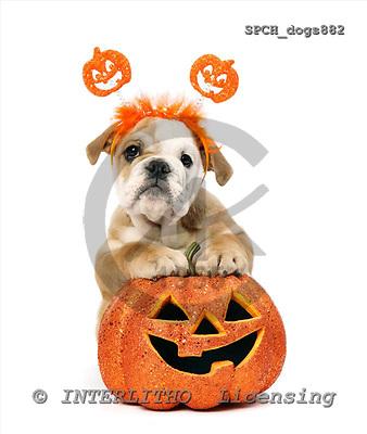 Xavier, ANIMALS, dogs, photos+++++,SPCHDOGS882,#a# Hunde, perros