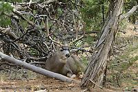Mule deer buck (Odocoileus hemionus).  Arizona.  Fall.