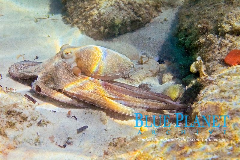 octopus, vulgaris octapoda, octopodidae, Aegean sea, Mediterranean