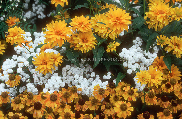 Yellow Garden with white: Heliopsis, Achillea The Pearl, Helenium flowers planted together. three plant combination in yellow and white color theme