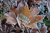 Gisela, STILL LIFE STILLEBEN, NATURALEZA MORTA, photos+++++,DTGK2319,#i#, EVERYDAY ,leaves,winter,hoarfrost
