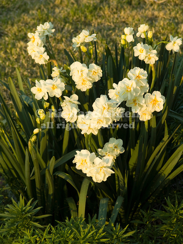 Winston Churchill Daffodils, Narcissus hybrid