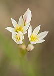 False Garlic wildflower