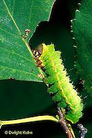 LE12-028x  Luna Moth - caterpillar feeding - Actias luna
