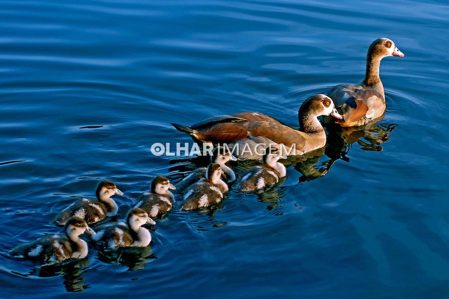 Animais. Aves. Família de Marrecos na água. SP. Foto de Juca Martins.