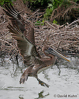 0308-0890  Flying Brown Pelican, Pelecanus occidentalis © David Kuhn/Dwight Kuhn Photography