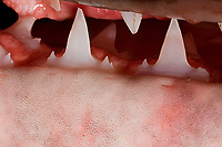 teeth of porbeagle shark, Lamna nasus caught for research, New Brunswick, Canada (Bay of Fundy)