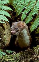 MA21-003z  Long-Tailed Weasel - in summer brown coat - Mustela frenata