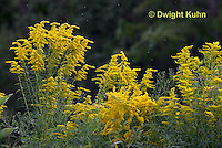 FD13-503z  Canadian Goldenrod, Solidago canadensis