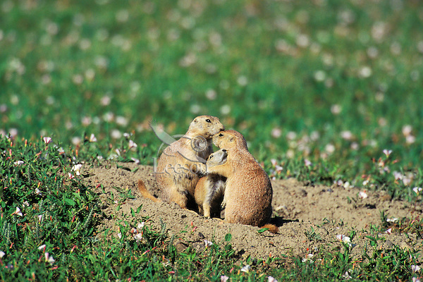 Black-tailed Prairie Dog (Cynomys ludovicianus) adults with young.