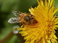 A bee covered in pollen on a dandelion.<br /> Une abeille couverte de pollen sur une fleur de pissenlit.