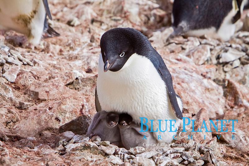 Adelie penguin (Pygoscelis adeliae) near the Antarctic Peninsula, Antarctica