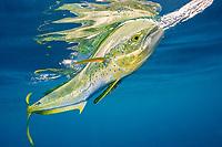 dorado, mahimahi, mahi-mahi, dolphinfish, or dolphin-fish, Coryphaena hippurus, chasing a teaser bait, with reflection on ocean surface, off Isla Mujeres, near Cancun, Yucatan Peninsula, Mexico (Caribbean Sea)
