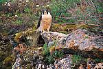 Peregrine Falcon, Artillery Lake, Northwest Territories, Canada