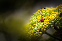 A red beetle, a ladybug, heading away along the yellow buds of a Sweet fennel.