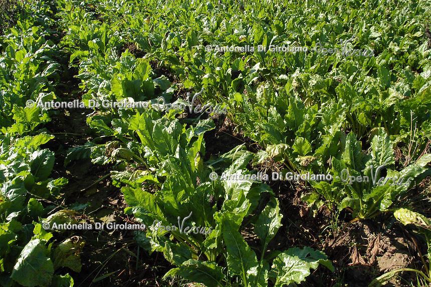 Raccolta di barbabietole da zucchero. Farmers during the harvesting of sugar beet....