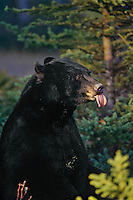 Black Bear sticking out tongue.