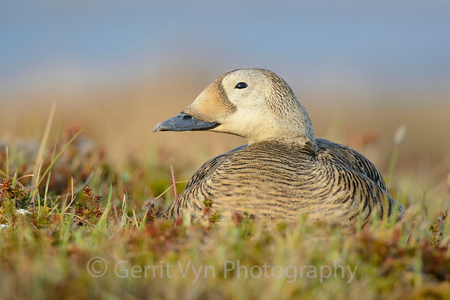Female Spectacled Eider (Somateria spectabilis) sitting on nest. Yukon Delta National Wildlife Refuge, Alaska. June.