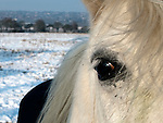 White horse in a field of snow in Essex today .....Pic by Gavin Rodgers/Pixel 8000 Ltd