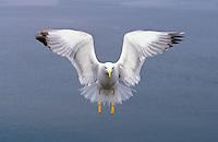 Mittelmeermöwe, im Flug, Flugbild, fliegend, Mittelmeer-Möwe, Möwe, Mittelmeermöve, Larus michahellis, Yellow-legged Gull, (Weißkopfmöwe, Larus cachinnans)