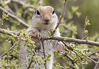 Round-tailed Ground Squirrel, Xerospermophilus tereticaudus, at the Desert Botanical Garden, Phoenix, Arizona