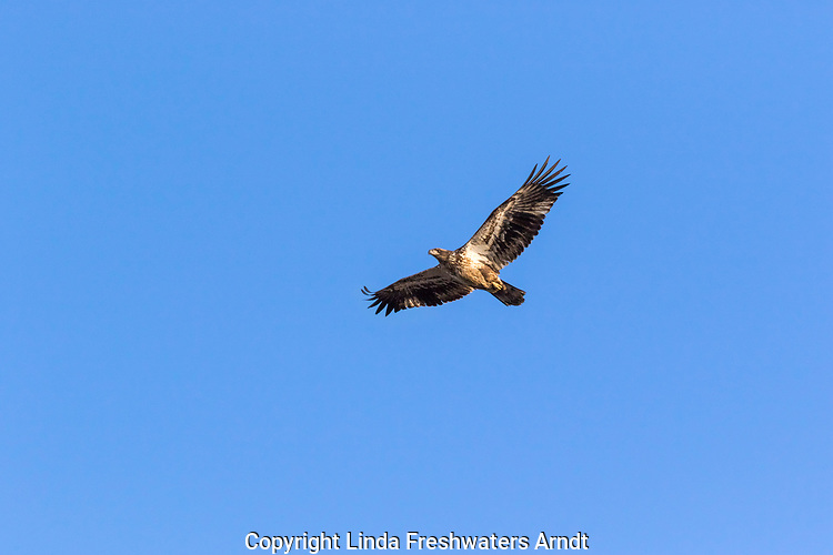 Immature bald eagle flying over the Chippewa River in northern Wisconsin.