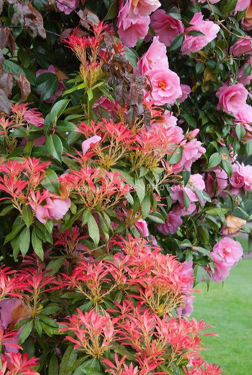 Firey new red growth of Pieris with Camellia in April spring flowers