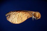 Ahorn Frucht, Frucht geöffnet, um den darin liegenden Samen sichtbar zu machen, Früchte, Samen, Same, Früchte sind Spaltfrüchte, mit zwei im Winkel abstehenden Flügeln, geflügelte Nussfrüchte,  Schraubenflieger, Flügelflieger, Berg-Ahorn, Bergahorn, Ahorn, Frucht, Acer pseudoplatanus, Sycamore, Erable sycomore