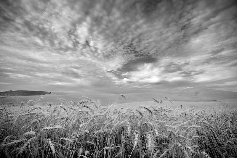 Wheat field and clouds. The Palouse, Washington