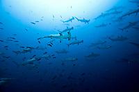 school of scalloped hammerhead sharks, Sphyrna lewini, Cocos Island, Costa Rica, Pacific Ocean