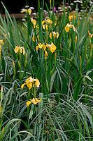 Sumpf-Schwertlilie, Sumpfschwertlilie, Sumpf - Schwertlilie, Iris pseudacorus, Flag Iris, Yellow Flag, Iris des marais