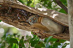 Mittermeier's Sportive Lemur (Lepilemur mittermeieri). Ampasandava Peninsula forest, snorth west Madagascar.