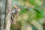 Adult spectral tarsier (Tarsius spectrum), (sometimes Tarsius tarsier) (in recent taxonomic revision, Gursky's spectral tarsier (Tarsius spectrumgurskyae)) hunting bush crickets. Tangkoko National Park, Sulawesi, Indonesia.