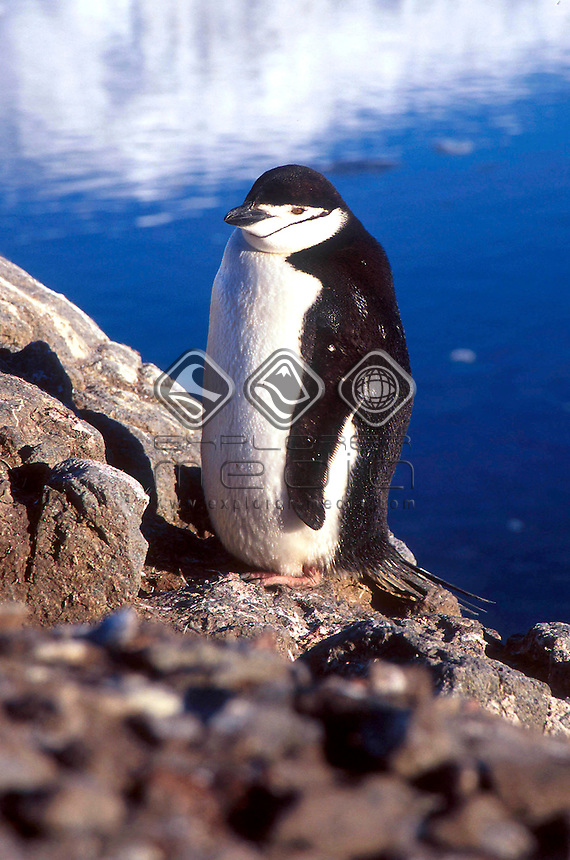 Chinstrap Penguin<br />