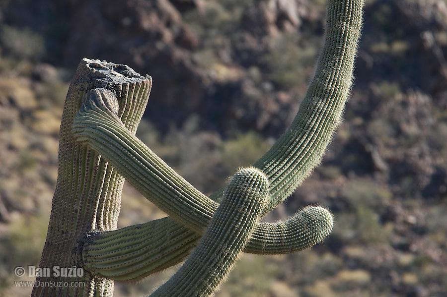 Saguaro, Carnegiea gigantea, Organ Pipe Cactus National Monument, Arizona.