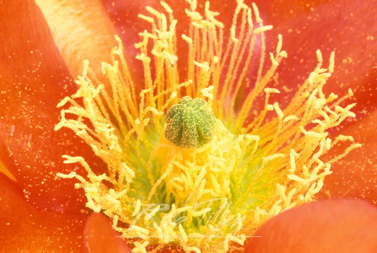Closeup of Desert Prickly Pear Cactus Flower (Opuntia phaeacantha), Casa Grande, Arizona