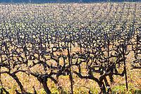 A vineyard with old vines  at Mas de Gourgonnier, in Les Baux de Provence, Bouche du Rhone, France