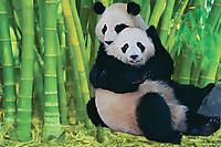 Giant Pandas playing
