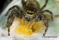JS01-028x  Jumping Spider - female protecting eggs - Phidippus clarus