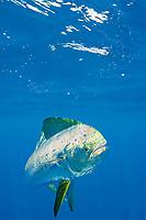 dorado, mahi mahi, or dolphin fish, Coryphaena hippurus, off Isla Mujeres, near Cancun, Yucatan Peninsula, Mexico (Caribbean Sea)