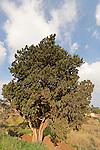 T-052 Cypress in Ilania
