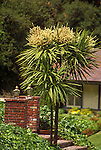 5208-CI New Zealand Cabbage Palm, Cordyline australis, flowering, in front yard at Sherman Oaks, CA USA.