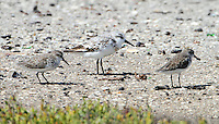 Two western sandpipers and a sanderling, note the differences