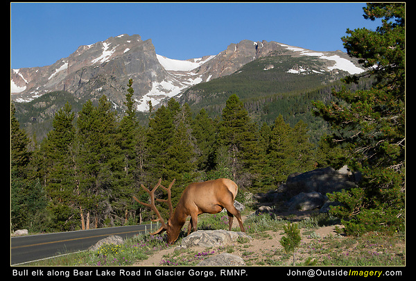 Bull Elk along the Bear Creek Road, Glacier Gorge, Rocky Mountain National Park, Colorado.