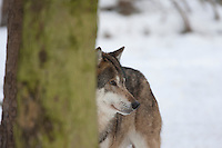 Wolf, im Winter im Schnee, Portrait, Porträt, Canis lupus, gray wolf