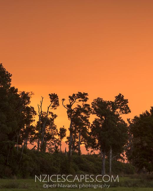 Sunset on farm with totara trees near Whataroa, South Westland, New Zealand, NZ