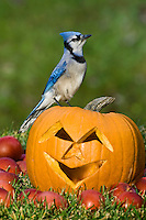 Blue Jay (Cyanocitta cristata) in autumn backyard with MacIntosh apples and Jack-O-Lantern pumpkin. Nova Scotia. Canada.