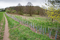 Newly planted hedge at Beeston Castle, Tarporley, Cheshire.
