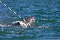 California Gray whale (Eschrichtius robustus) mother and calf rubbing against an anchor line repeatedly in San Ignacio Lagoon on the Pacific Ocean side of the Baja Peninsula, Baja California Sur, Mexico. Each winter thousands of California gray whales migrate from the Bering and Chukchi seas to breed and calf in the warm water lagoons of Baja California. San Ignacio lagoon is the smallest of the three major such lagoons. Current (2008) population estimates put the California Gray wh at between 20,000 and 24,000 animals.